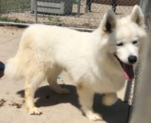 Humane Society of North Iowa » Search Results » Samoyed
